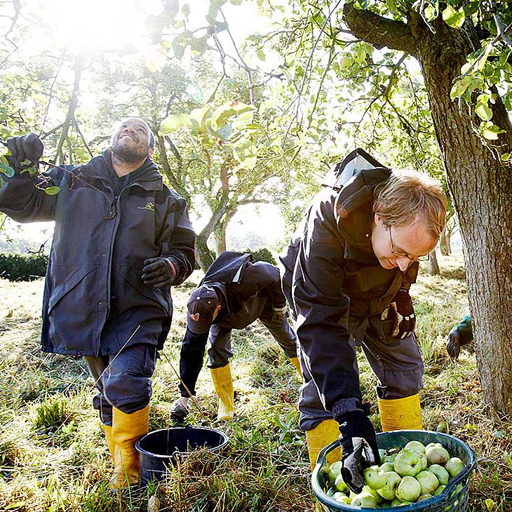 Drei Männer sammeln Äpfel.
