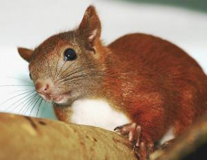 EichhörnchenEckernförde (2) 2