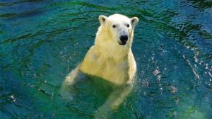 Ein Eisbär schaut aus dem Wasser.