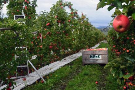 Warum nicht mal zum Apfelflücken nach Neuseeland?