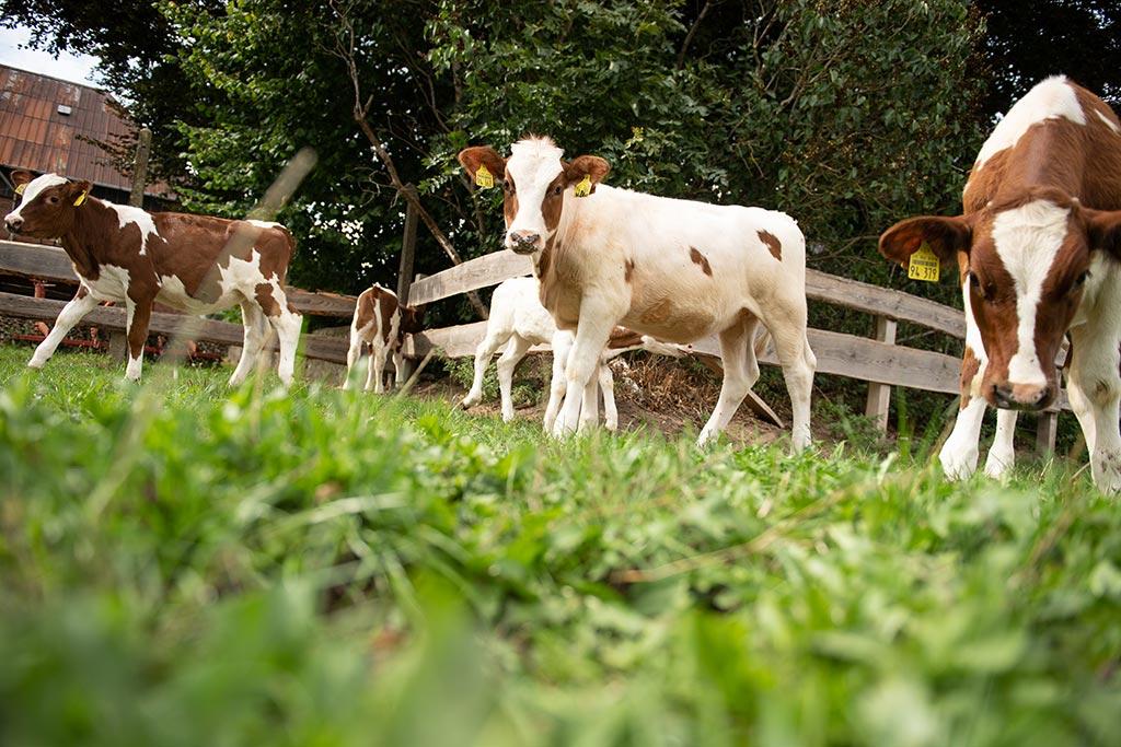 Auf dem Bio-Hof haben die Kühe jederzeit die Möglichkeit, draußen zu weiden.
